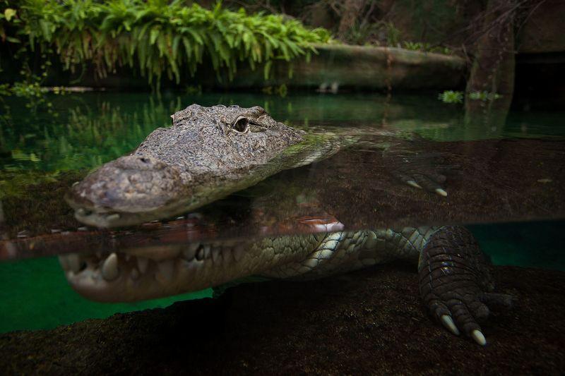 Krokodyl w Ogrodzie Zoologicznym