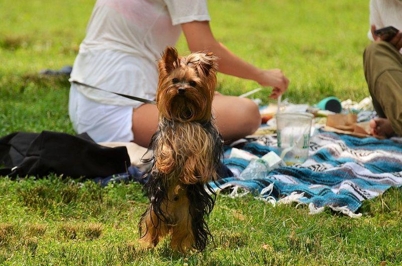 Pies york na pikniku